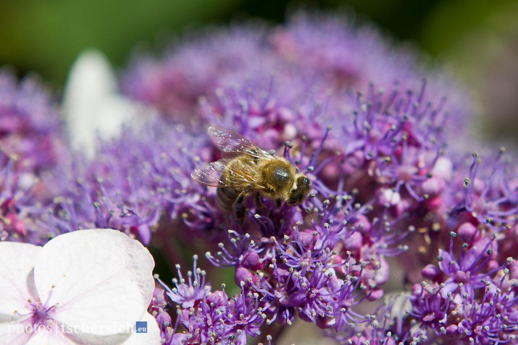 Voilet-Bee